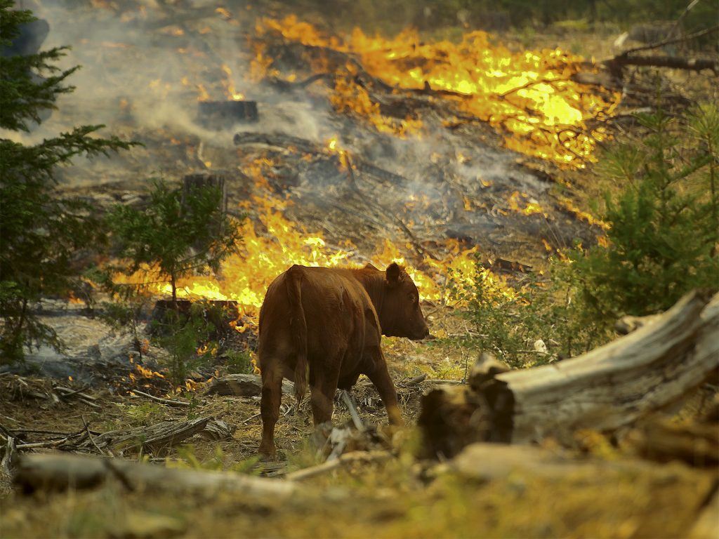 epa03836237 A cow passes a flare-up of the Rim Fire near the Yosemite National Park border in Groveland, California, USA, 24 August 2013. With the fire threatening resources used to provide water and electricity to San Francisco, on Friday California Governor Edmund G. Brown Jr. extended a state of emergency to cover the city and county of San Francisco.  EPA/NOAH BERGER